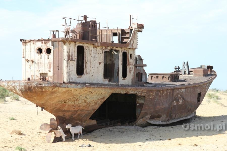 Jezioro Aralskie - W cieniu wraków chronią się kozy