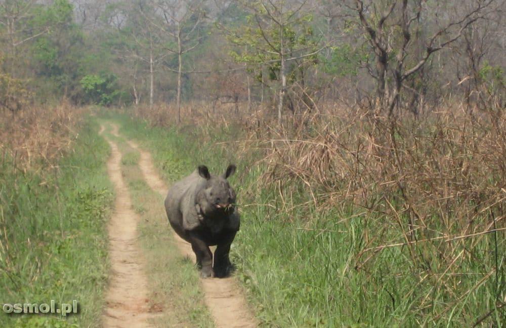 Nosorożec w Chitwan